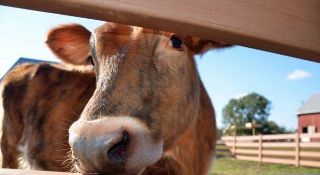 Shumica e amerikanëve s'e dinë se buka vjen nga gruri – sondazhi shokues në SHBA